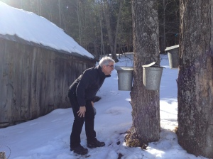 Checking our taps. 40 gallons of sap = one gallon of maple syrup. The sap looks like water.