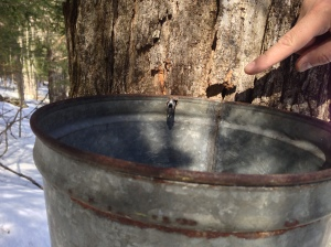 Drip, drip. 40 gallons of sap=one gallon of maple syrup!
